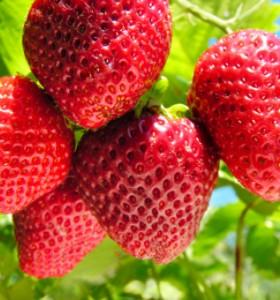 Екстракт от ягоди предпазва кожата от UV лъчите