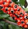 Гуарана - по-силна от кафето