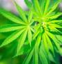 Жените вероятно са по-чувствителни към марихуаната