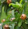 Мушмули – отличен източник на витамини и минерали