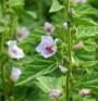 Ружа - намалява кашлицата и кожните раздразнения