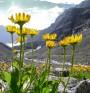 Арника монтана (Планинска арника). Азбука на хомеопатията