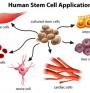 Стволови клетки и диференцирани клетки
