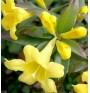 Гелсемиум (жълт жасмин). Азбука на хомеопатията