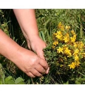 Жълт кантарион – природният антидепресант
