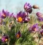 Азбука на хомеопатията: Пулсатила