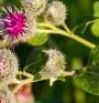 За какво помага корен от репей?
