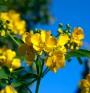 Сена – билката с много имена и още повече ползи