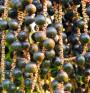 Дребен плод ни помага да отслабнем и задържим младостта за дълго