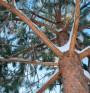Борова кора облекчава страдащи от шум в ушите