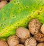 Орехите – най-полезните ядки. Доказано!