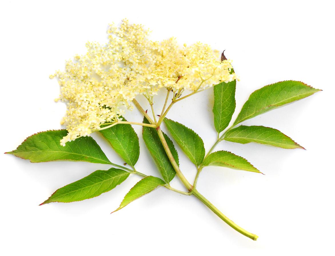 Белият бъз е дървесно растение, един от десетките различни видове