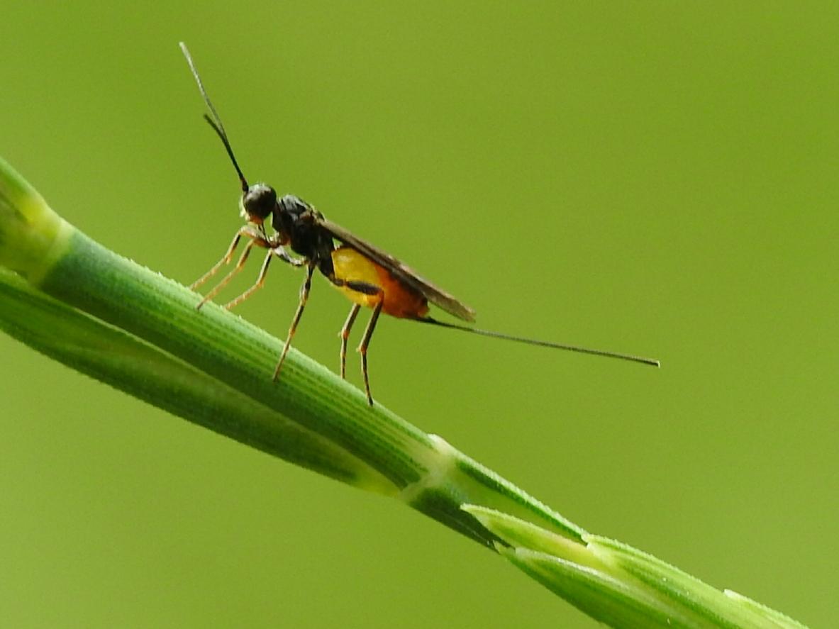 Снимка: Оса помага на учените в борбата срещу маларията