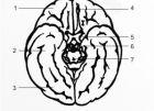 Мозъка отдолу