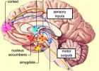 """""""Център на удоволствието"""" в мозъка и връзката му с други мозъчни структури"""