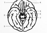 Анатомия на човека! Brain_basal