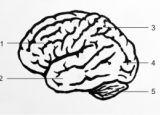 Анатомия на човека! Brain_lateral