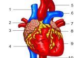 Анатомия на човека! Heart_1_color