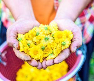 Лечебните свойства на чая от хризантема