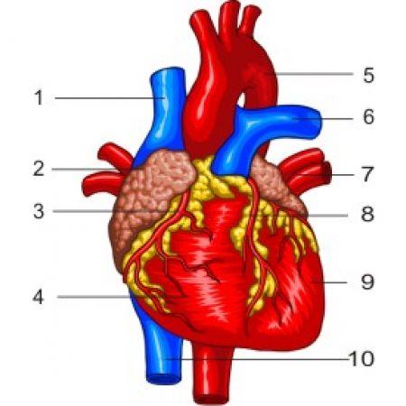 Сърце - отпред