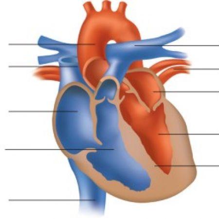 Сърце - разрез